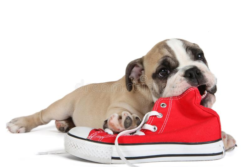 Gullig gammal engelsk bulldogghund som framme ligger av röda skor fotografering för bildbyråer
