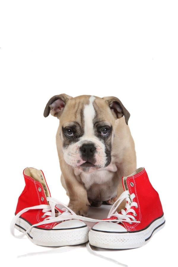 Gullig gammal engelsk bulldogghund som framme sitter av röda skor arkivfoton