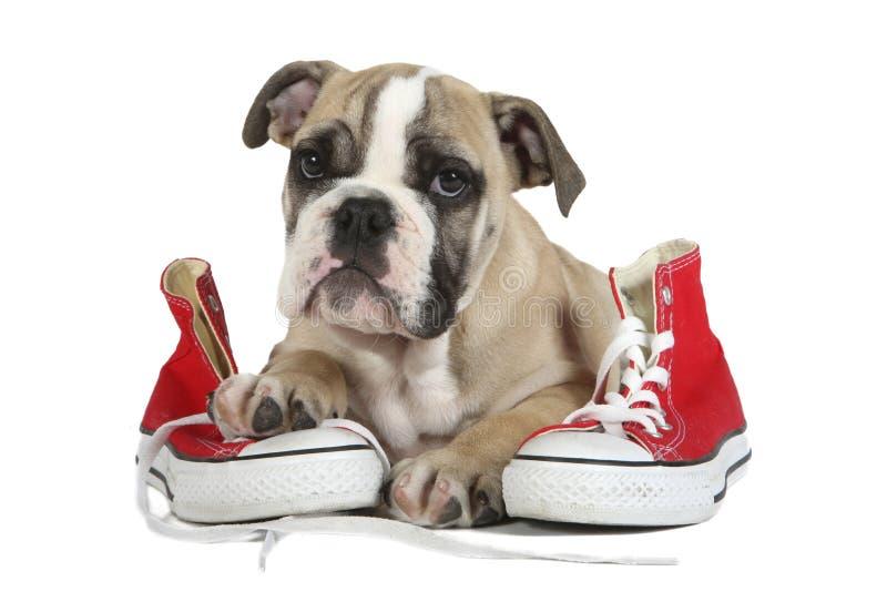 Gullig gammal engelsk bulldogghund som ligger på röda skor arkivfoton