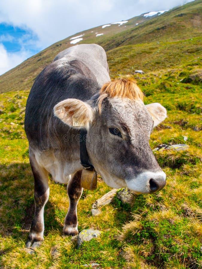 Gullig grå alpin ko med klockan på halsen som betar på ängen arkivfoton