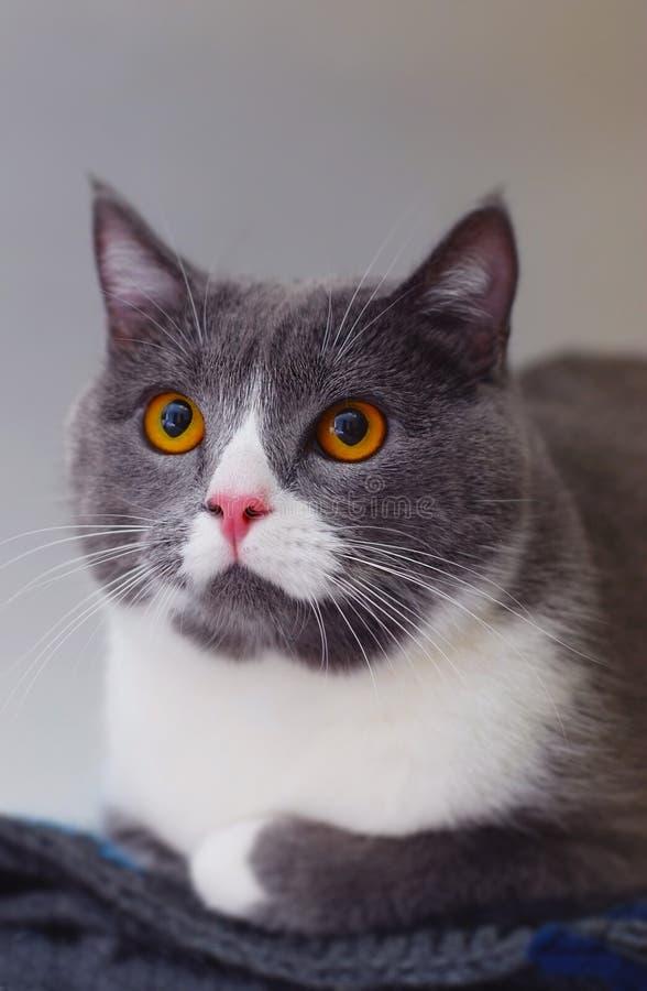 Gullig grå katt med guling som sitter ja på den stack filten i ljust vitt rum Selektivt fokusera Lodlinjen avbildar royaltyfri bild