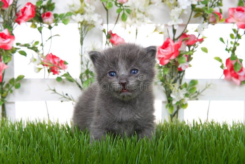 Gullig grå kattunge vid det vita posteringstaketet med rosa rosor på grönt gräs arkivfoto