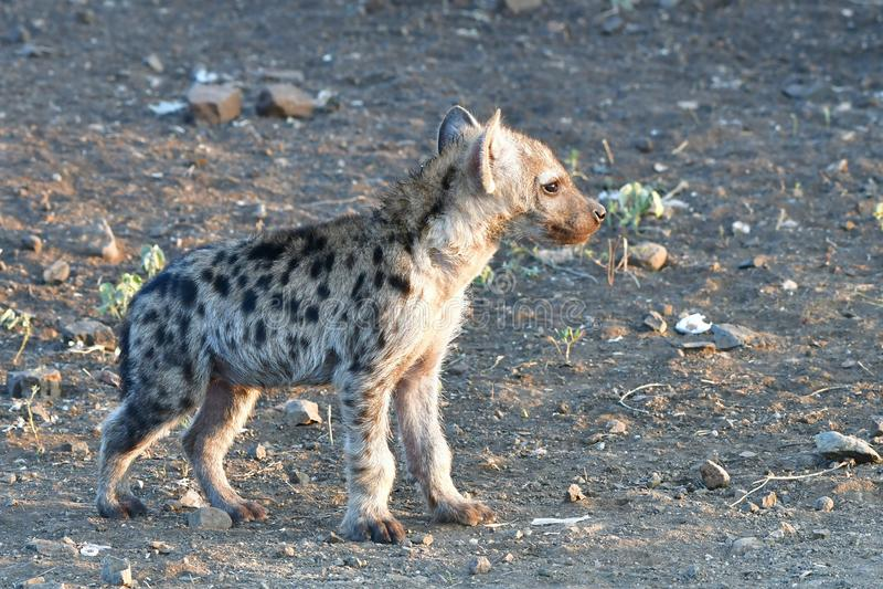 gullig gröngöling av den prickiga hyaenaen royaltyfri bild
