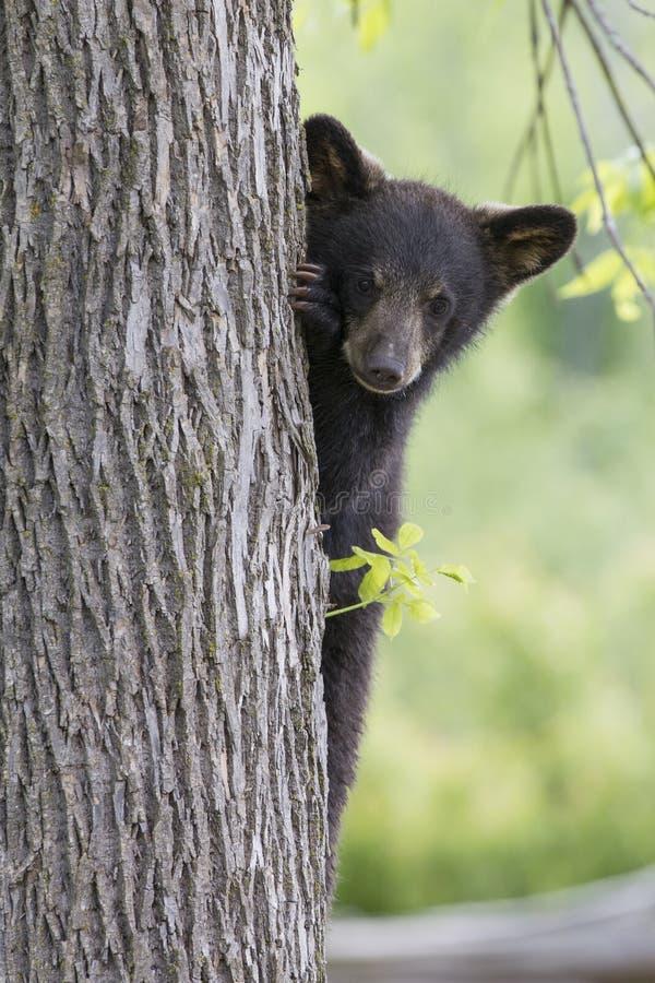 Gullig gröngöling för svart björn royaltyfria bilder
