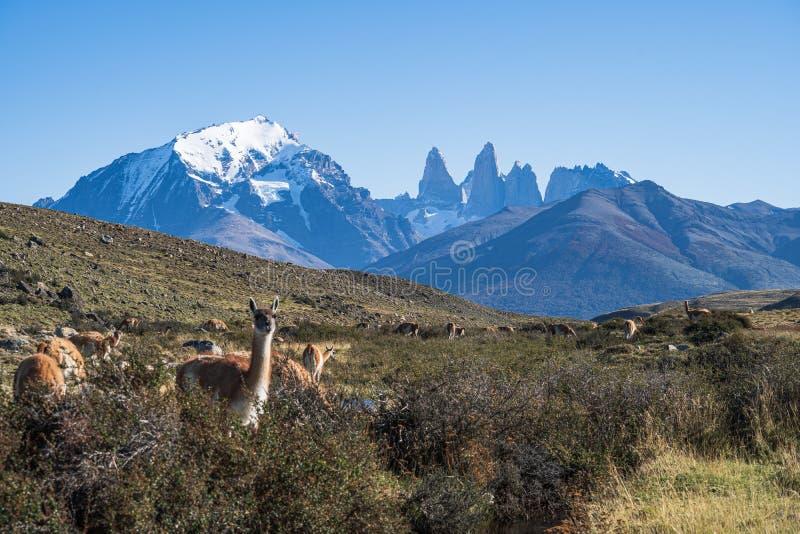 Gullig grupp av det berömda lokala lösa naturdjuret för guanaco som betar guld- gult gräs i höst, södra Patagonia, Chile och Arge arkivfoton