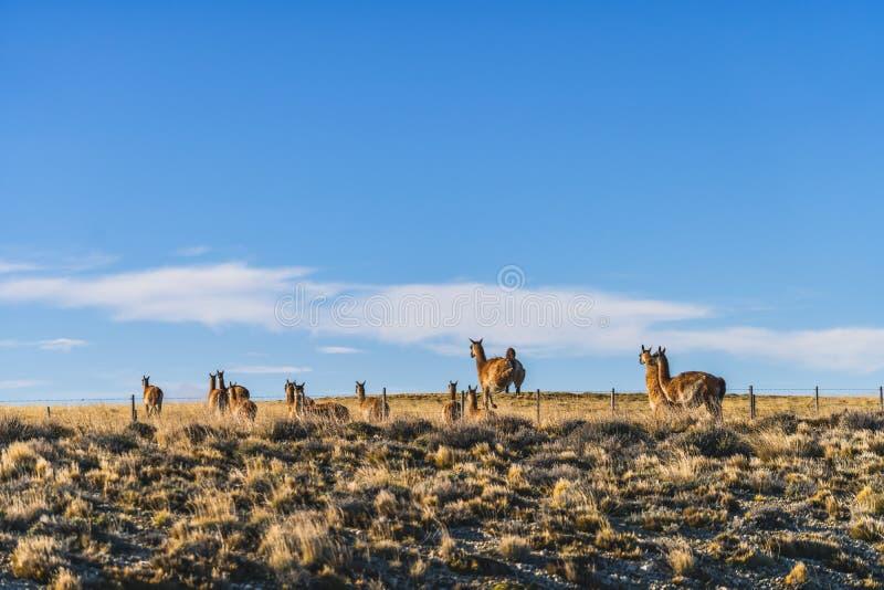 Gullig grupp av det lösa naturdjuret för guanaco som hoppar arga rakknivtrådbarriärer med guld- gult gräs i hösten, södra Patagon royaltyfria foton
