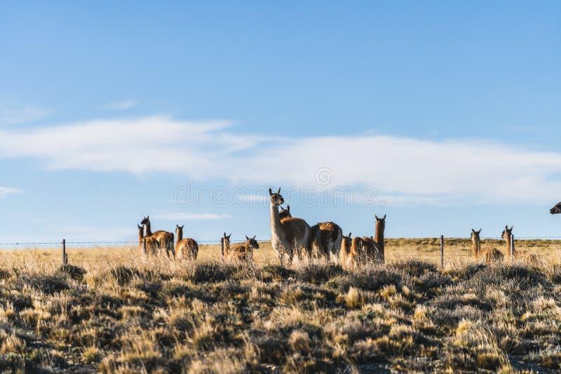 Gullig grupp av det l?sa naturdjuret f?r guanaco med guld- gult gr?s i h?sten, s?dra Patagonia, Chile och Argentina, mest iconic royaltyfria foton