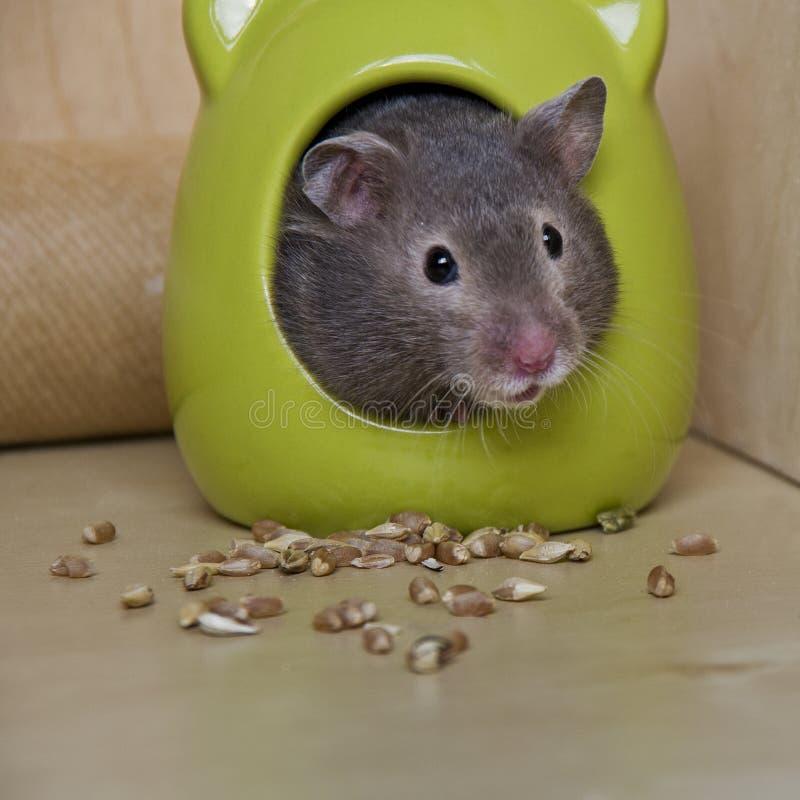 Gullig hamster royaltyfri foto