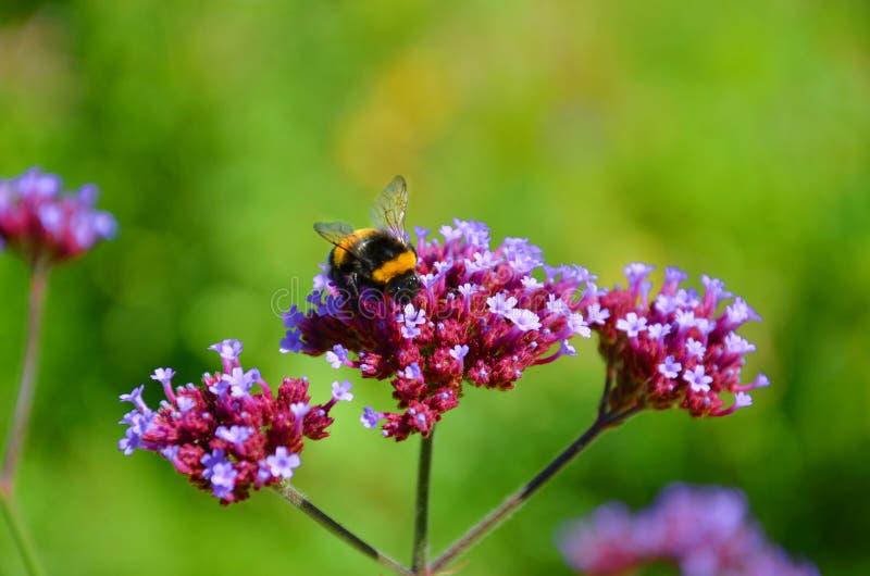 Gullig humla som samlar nektar från en purpurfärgad röd blomma under vårsäsong Fotografiet har gjort suddig grön bakgrund arkivbilder