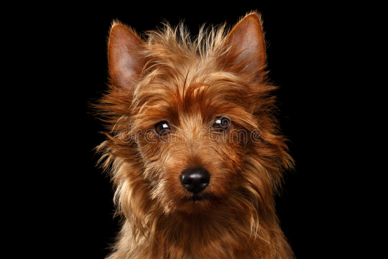 Gullig hund för australisk terrier på isolerad svart bakgrund royaltyfri bild