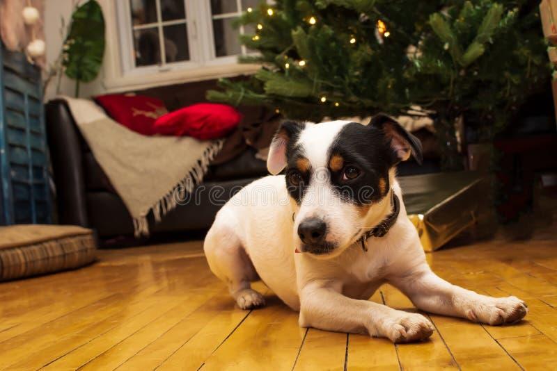 gullig hund för jul fotografering för bildbyråer