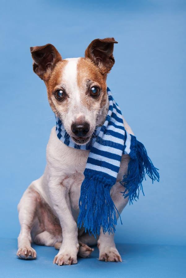 Gullig hund i blå halsduk fotografering för bildbyråer