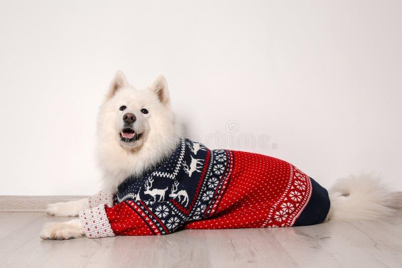 Gullig hund i varm tröja på golv fotografering för bildbyråer