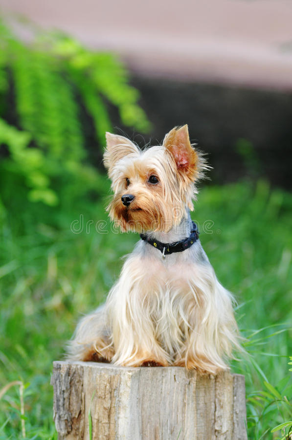 gullig hund little royaltyfria foton