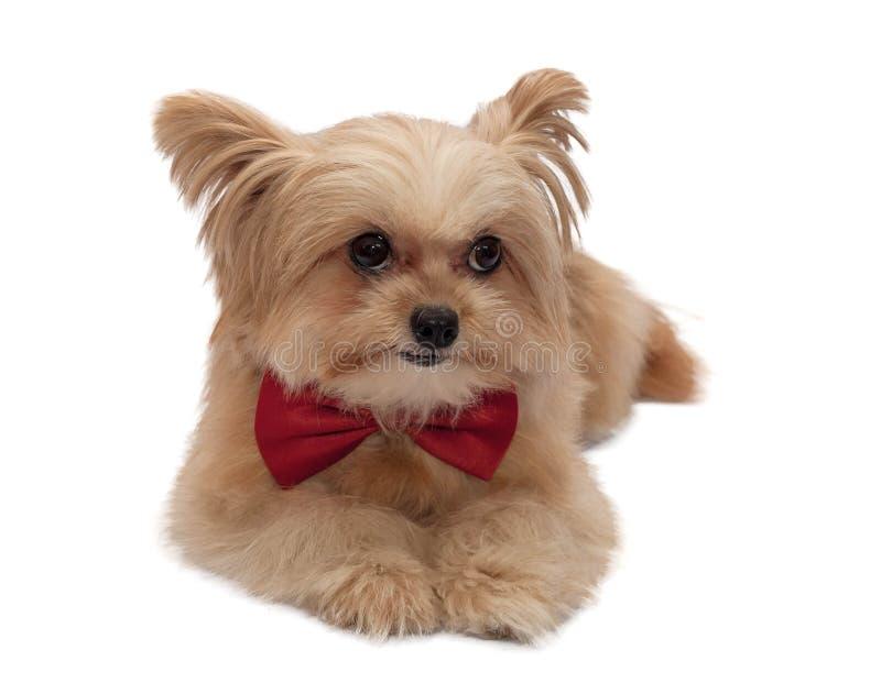 Gullig hund med det röda bandet royaltyfria bilder