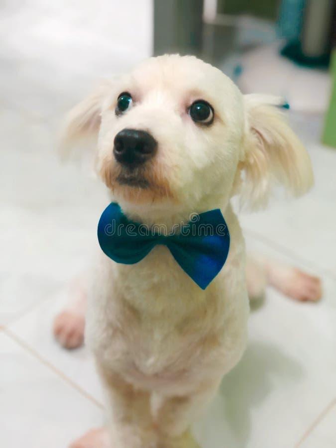 Gullig hund som bär ett band royaltyfria foton