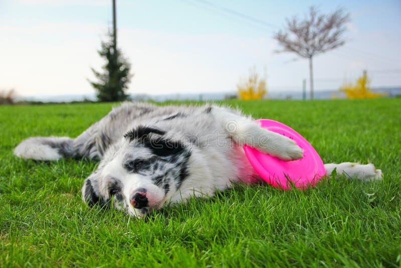Gullig hund som ligger med dess frisbee fotografering för bildbyråer