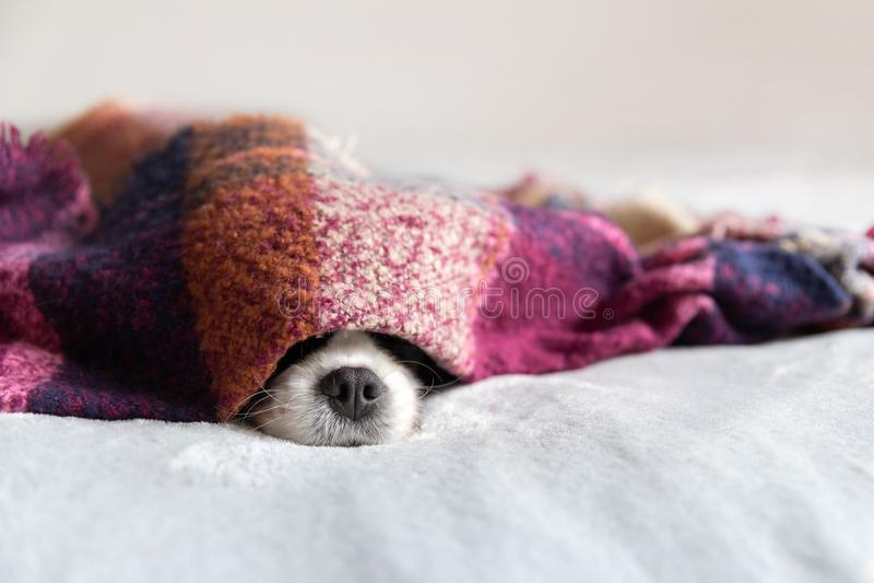 Gullig hund som sleepeing under den varma filten fotografering för bildbyråer