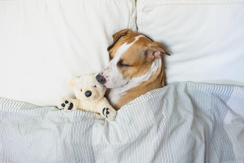 Gullig hund som sover i säng med en fluffig leksakbjörn, bästa sikt personal royaltyfri fotografi