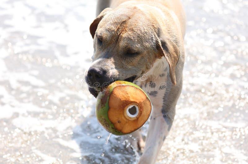 Gullig hund som spelar i havet, handlingbilder av den hund- jagakokosnöten i havet och stranden arkivbild