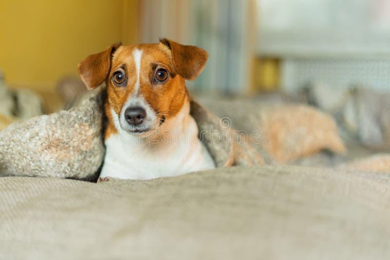 Gullig hund som vilar eller sover under en filt arkivbild