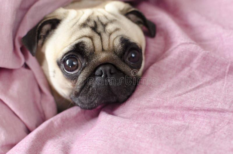 Gullig hundavelmops som slås in i förbigick rosa färger arkivfoton