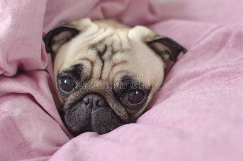 Gullig hundavelmops som slås in i förbigick rosa färger royaltyfri fotografi