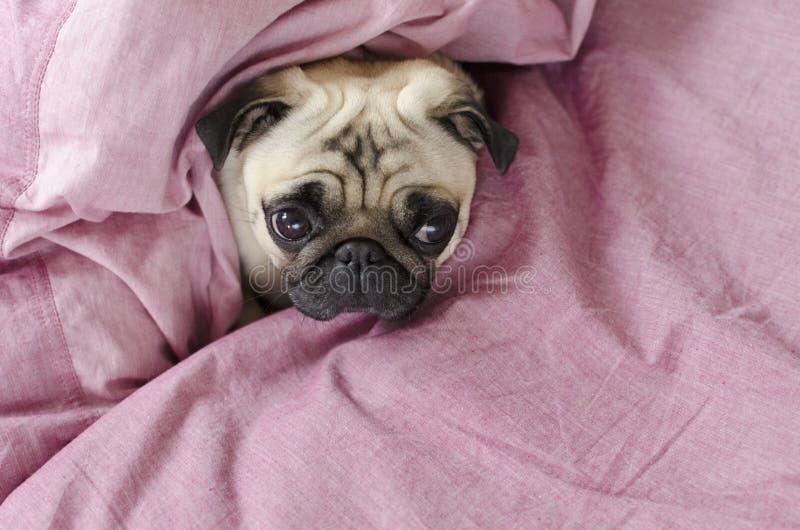 Gullig hundavelmops som slås in i förbigick rosa färger arkivfoto