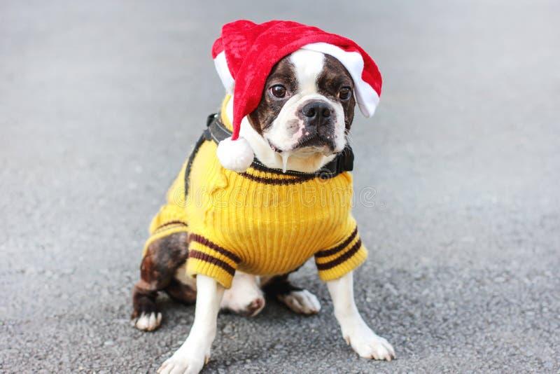 Gullig hundboston terrier i gult tröja- och jultomtenhattsammanträde arkivbilder