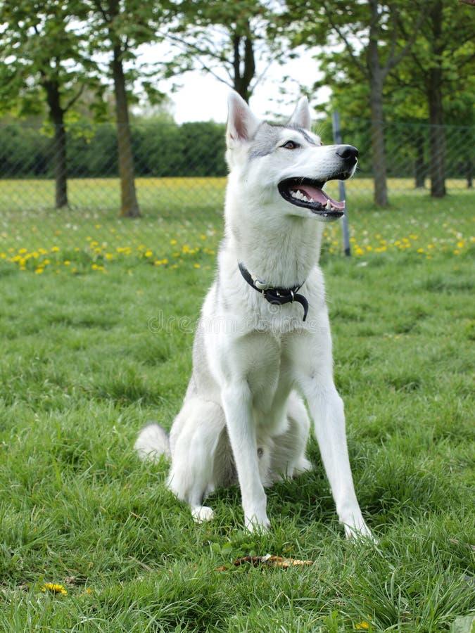 gullig hundhusky fotografering för bildbyråer
