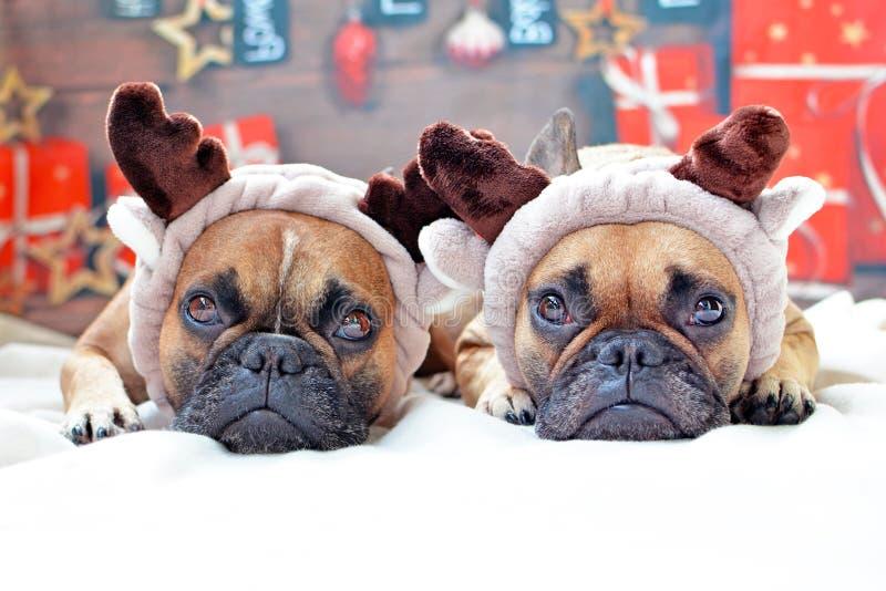 Gullig hundkapplöpninguppklädd för fransk bulldogg som renar som ner framme ligger på golv av julbakgrund royaltyfri bild