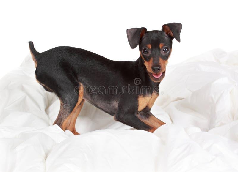gullig hundpinscher royaltyfri fotografi