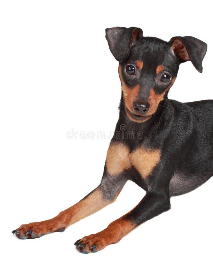 gullig hundpinscher arkivbild