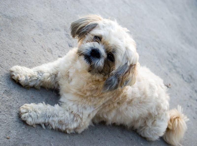 gullig hundshitzu royaltyfri bild