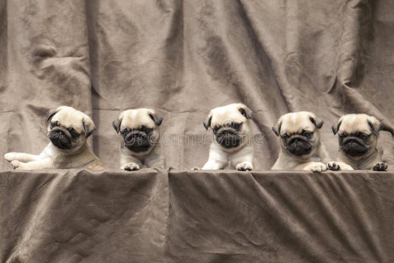 Gullig hundvalp för mops royaltyfria foton