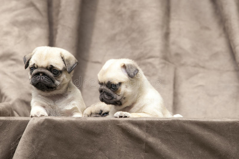 Gullig hundvalp för mops royaltyfri fotografi