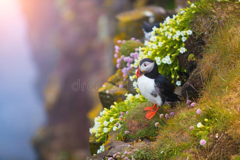 Gullig iconic lunnefågelfågel, Island arkivbild