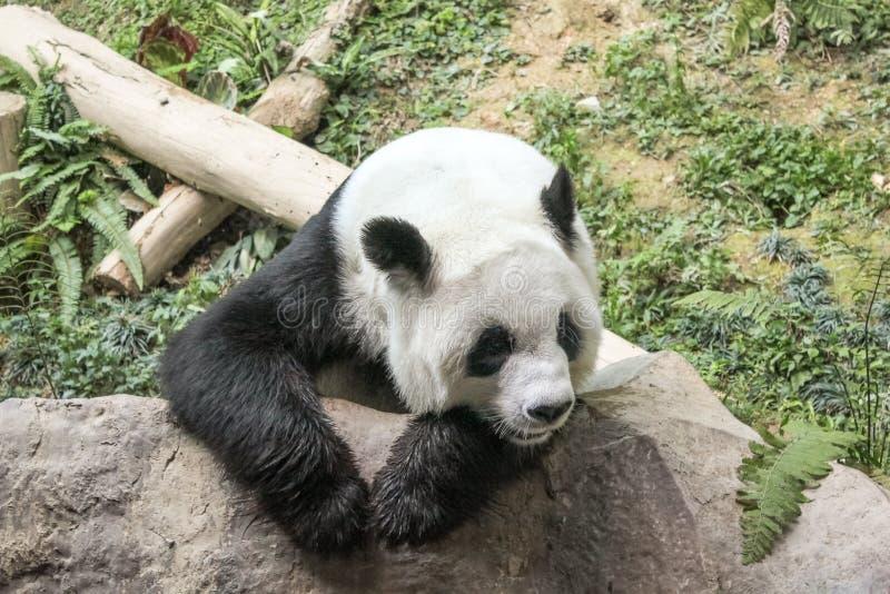 Gullig jätte- panda royaltyfri foto