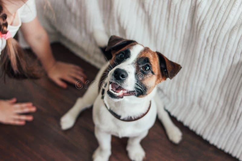 Gullig Jack Russell för valphund som terrier ser kameran med liten girl& x27; s-hand i sovrum royaltyfri foto