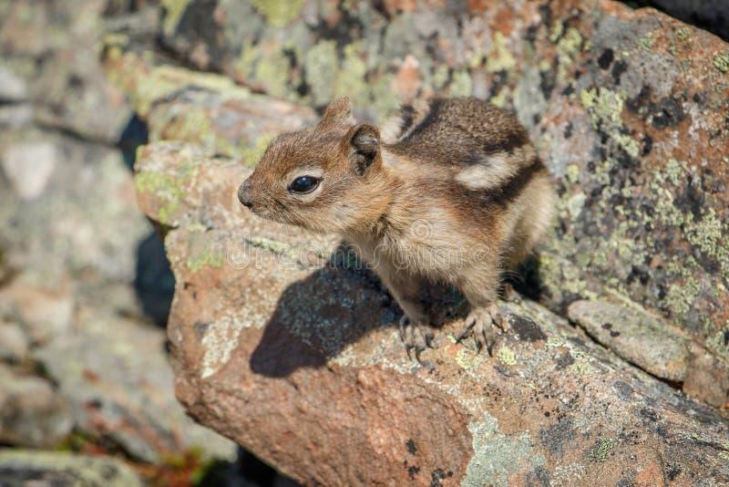 Gullig jordekorre i kanadensiska steniga berg arkivfoto