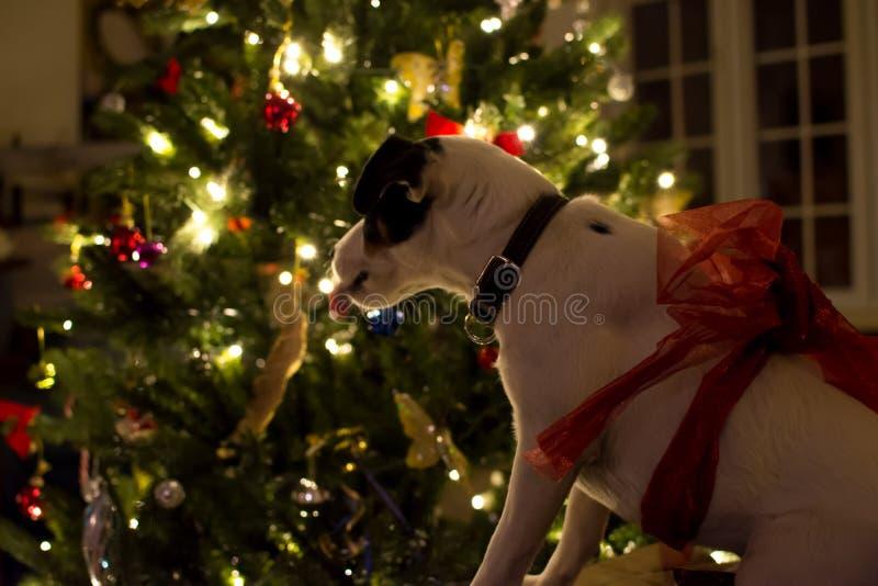 Gullig julhund bredvid den upplysta julgranen royaltyfri foto