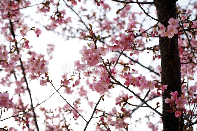 Gullig körsbärsröd blomning med den spridda bakgrunden arkivbild