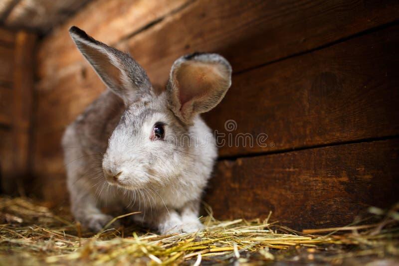 Gullig kanin som poppar ut ur en hutch arkivfoton