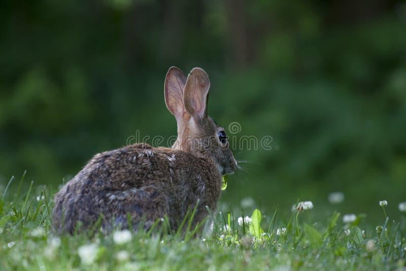 Gullig kaninkanin som äter lös växt av släktet Trifolium i en grön skog på en solig sommardag arkivfoto