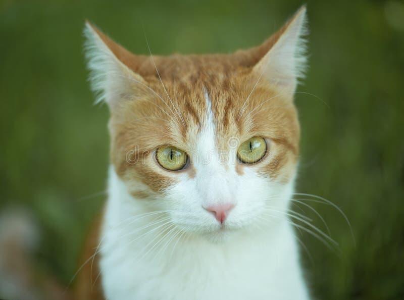 Gullig katt med den stora closeupen för gröna ögon arkivfoto