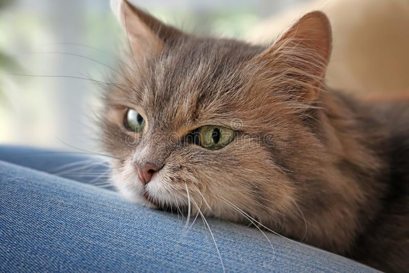 Gullig katt på kvinna \ 's-varvar royaltyfria bilder