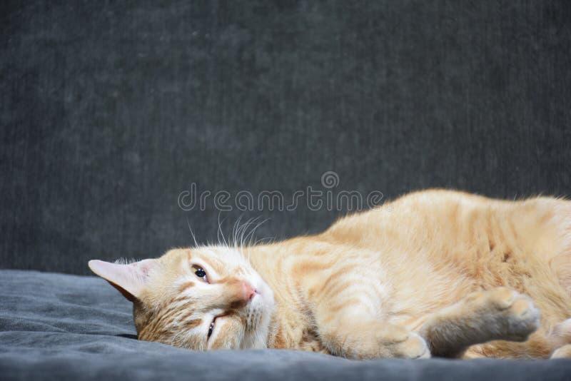 Gullig katt som är sömnig på soffan arkivfoto