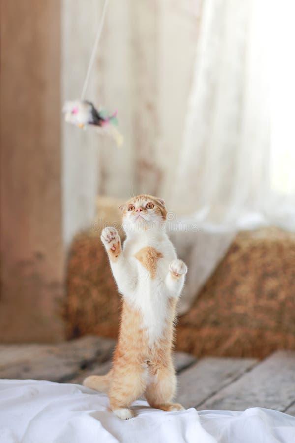 Gullig katt som spelar leksaken på golv arkivfoton