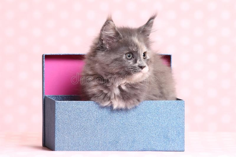 gullig kattunge maine för coon royaltyfri fotografi