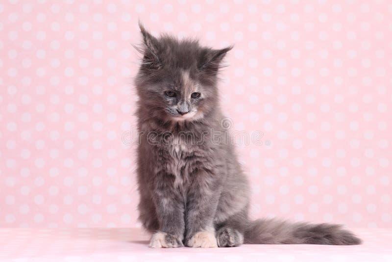 gullig kattunge maine för coon arkivfoton